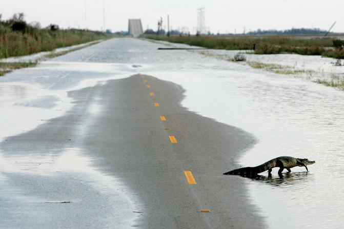En aligator nyter trafikkstoppen